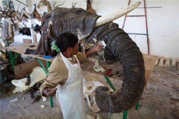 Trong số các loài vật hoang dã thì voi là con vật đắt tiền nhất với chi phí lên đến 31.000 bảng Anh (hơn 854 triệu đồng) một con.