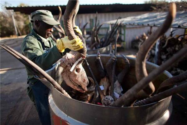 Bước đầu tiên trong quy trình nhồi xác các con vật hoang dã bao gồm việc lóc da các con vật trước khi đem đi thuộc.