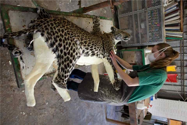 Da của một con báo đang được đắp quanh một chiếc khuôn bọt xốp.