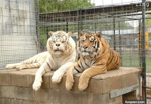 Sau khi về cùng một nhà, Kenny và Willietrở thành anh em thân thiết tại chuồng thú ở Trung tâm Tị nạn Động vật Hoang dã Turpentine Creek thuộc tiểu bang Arkansas, Mĩ.