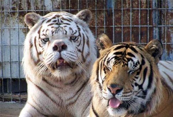 Vì ngoại hình xấu xí khác thường nên hai chú hổ luôn bị đồng loại xa lánh.