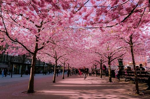 Nếu có một lần đến với thành phố Stockholm (Thuỵ Điển) thì bạn đừng bỏ lỡ những giây phút đi dạo dưới hàng cây hoa anh đào hồng rực một góc phố nhé. Chúng sẽ khiến bạn bồi hồi xúc cảm như đang ở Nhật Bản -xứ sở của các loài hoa anh đào đấy.