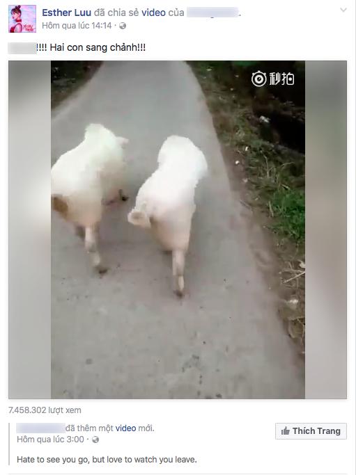 Trang cá nhân của Hari Won chia sẻ một đoạn clip khá dễ thương về hai chú heo. - Tin sao Viet - Tin tuc sao Viet - Scandal sao Viet - Tin tuc cua Sao - Tin cua Sao