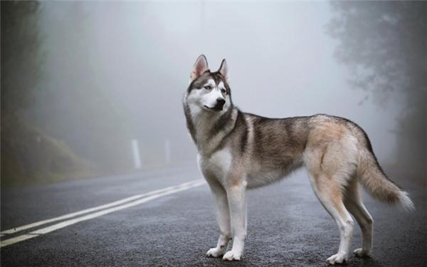 rn2. Siberian Husky: Với thân hình thon thả và nhanh nhẹn giống như sói cùng bộ lông dày tuyệt đẹp, được xem là dày nhất trong các giống chó, Husky luôn nằm trong top những loài chó đẹp nhất và được yêu thích nhất thế giới. Giống chó này còn nổi tiếng vì thông minh, trung thành, thích chạy nhảy, và sở hữu những tính cách không giống ai, chẳng hạn thích hú hơn là sủa, thích sống theo bầy đàn, và vô cùng cá tính với hàng loạt biểu cảm đáng yêu trên khuôn mặt và cặp mắt xếch.