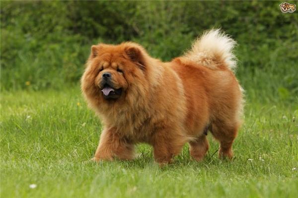 10. Chow Chow: Đây là giống chó có dáng dấp quý tộc với bộ lông dày xù và dáng vóc khổng lồ, khiến chúng mang vẻ duyên dáng và dũng mãnh của loài sư tử. Đặc biệt chiếc lưỡi của chúng luôn có màu xanh hoặc đen đặc trưng vô cùng độc đáo. Giống chó này cực kỳ trung thành và hung dữ, săn bắt rất giỏi, tuy nhiên chúng cũng rất cần được chăm sóc và yêu thương.
