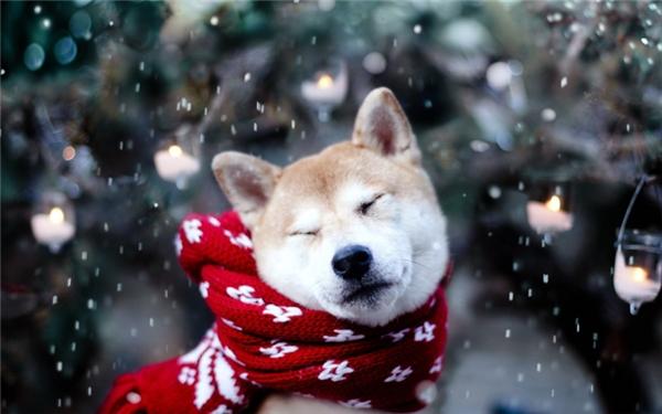 rn5. Akita Inu: Giống chó quý giá này được xem là quốc khuyển của Nhật Bản, chúng sở hữu bộ lông dày vô cùng ấm áp, mềm mại và xinh đẹp. Chúng cũng rất thông minh và trung thành nhưng lại khá hung dữ, không thích người lạ và có tính bảo vệ lãnh thổ rất cao.