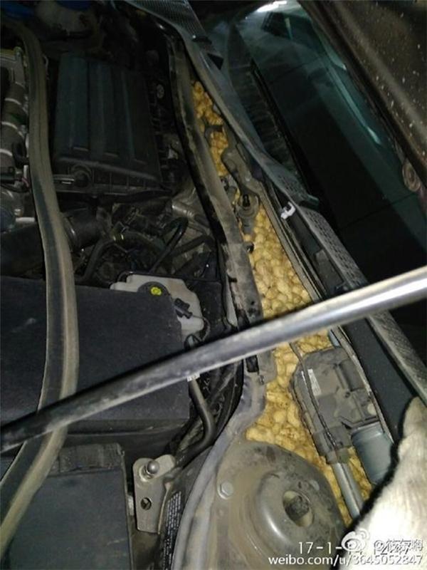 Chú chuột này cũng thậtchăm chỉ khitha hàng trăm củ lạc sống về lèn chặt trong ô tô của anh chàng kia.