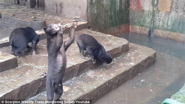 Những chú gấu đáng thương phải xin ăn của du khách.