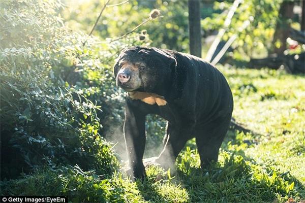 Gấu chó là động vật có nguồn gốc từ các vùng miền bắc Indonesia và miền đông nam châu Á. Thức ăn của chúng thường là mật ong, trái cây và côn trùng.