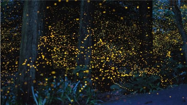 Cảnh tượng lung linh được tạo ra từ hàng ngàn con đom đóm trong một rừng đom đóm tại Nhật Bản. Được biết đom đóm chỉ vào một thời gian ngắn trong mùa hètại đất nước này.