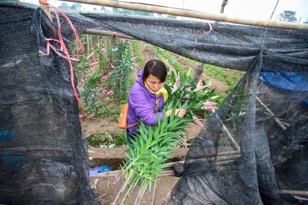 Thời tiết nóng lạnh thất thường năm naykhiến các ruộng hoa ly ở Tây Tựu (Hà Nội) nở sớm, rụng gần hết khiến các hộ nông dân phải bán tống bán tháo nhằm tránh thiệt hại có thể đến hàng chục triệu đồng.