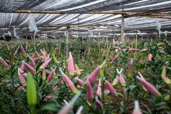 Thời tiết nóng lạnh thất thường khiến hoa ly nở sớm hơnso với dự kiến nhiều ngày.