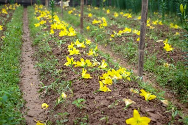 Hà Nội: Nông dân khóc ròng vì hoa ly rụng sạch ngày giáp Tết