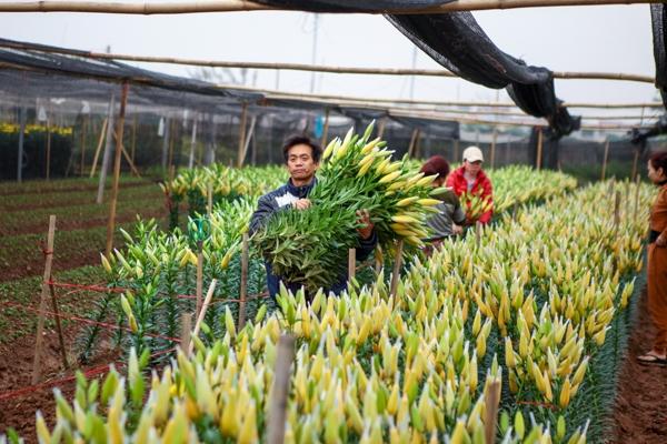 Ông Xuân, một hộ trồng hoa ly cay đắng nói, thời tiết thất thường khiến hơn mộtnửa ruộng hoa ly của ông rụng hết,nửa ruộng còn lại ông hivọng bán được giá cao để thu hồi lại vốn.