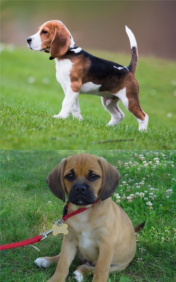 Đây là lý do vì sao đừng bao giờ lai Pug với giống nào khác