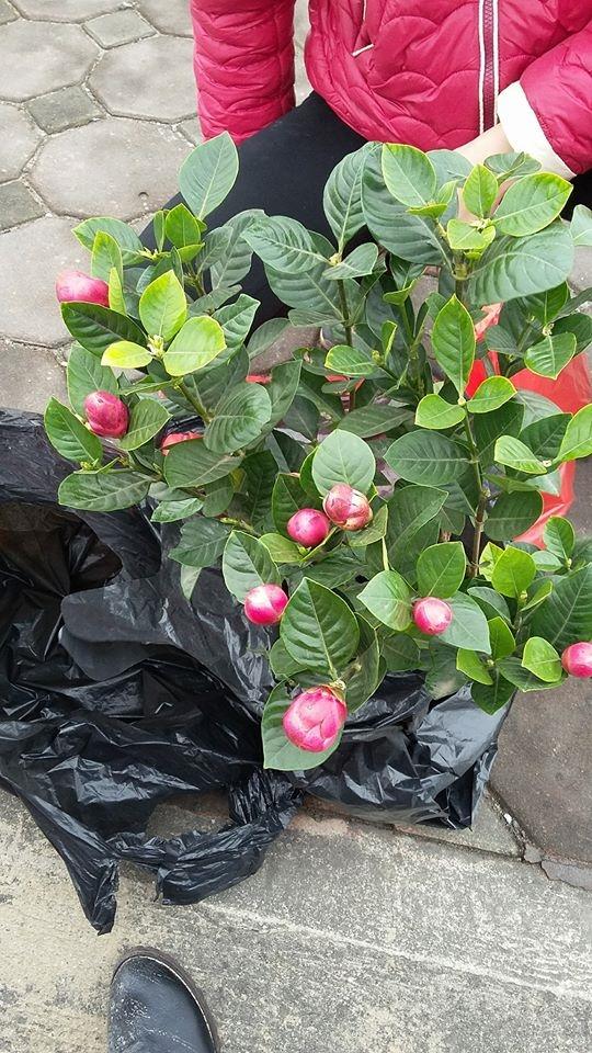 Cây hoa được hai chị emLiên Phạmmua về.(Nguồn: NVCC)