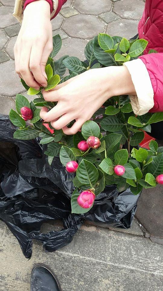 Cô gái quyết định ngắt thử nụ hoa để kiểm chứng.(Nguồn: NVCC)