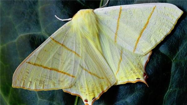 Loài bướm đêm mới được đặt tên ăn theo Donald Trump