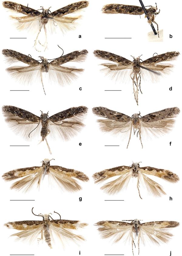 Một số loài bướm đêm cùng họ với loàiNeopalpa DonaldTrumpi. (Ảnh: internet)