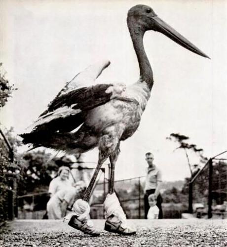 Một con chim bồ nông được người ta mang vào những chiếc giày tí hon.