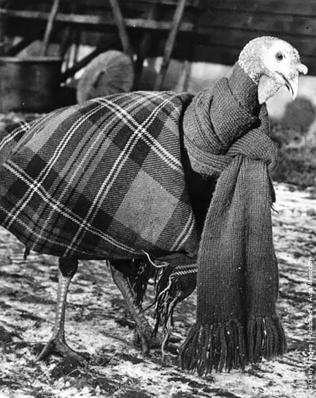 Gàtây được mặc áo ấm, khăn choàng cổ để chống chọi lại với cái lạnh mùa đông.