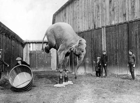 Một chú voi trong gánh xiếc với màn biểu diễn khó tin là giữ thăng bằng với hai chân trước trên hai chai rượu.