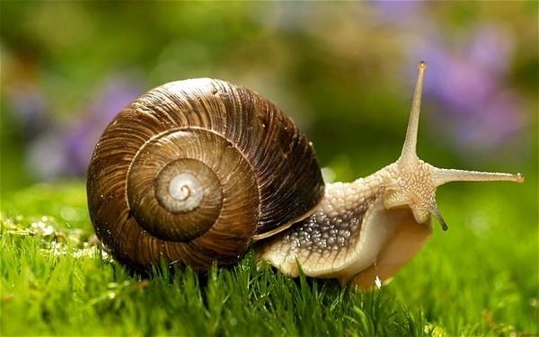 Người Ý dùng @thay cho từchiocciola có nghĩa là ốc sên vì @ viết xoắn ốc giống vỏ ốc sên. (Ảnh: internet)