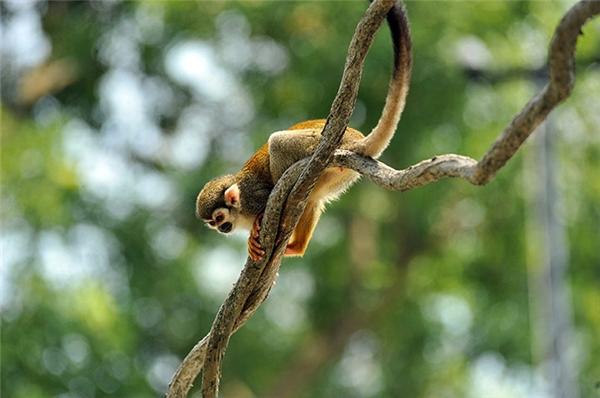 NgườiĐức thìgọi @ là klammeraffe có nghĩ là con khỉ nhện. (Ảnh: internet)