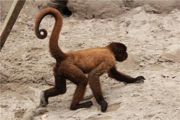 Còn ở Hà Lan gọi @ là apestaart nhưng có nghĩa là đuôi của khỉ. (Ảnh: internet)