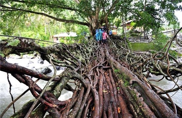 Còn đây là cây cầu độc nhất vô nhị hình thành từ những chiếc rễ cây ở Indonesia và mất đến 26 năm mới hoàn thành.