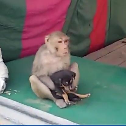 Chú khỉ ôm con chó con trong lòng.