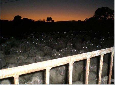 Sự im lặng của bầy cừu.