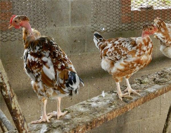 Năm gà cùng ngắm bộ lông siêu độc của gà cổ trụi