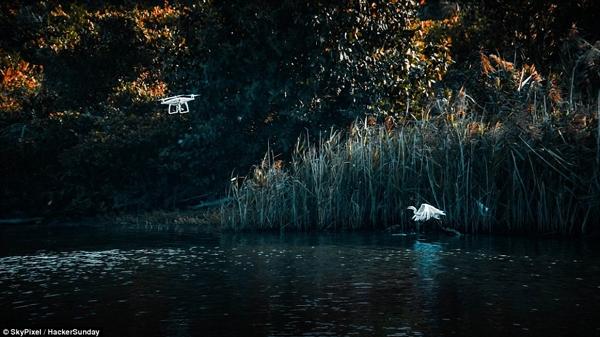Ảnh của Hacker Sunday, chụp lại khoảnh khắc một con thiên nga cất cánh bay lên khỏi hồ nước và một chiếc máy bay không người lái.