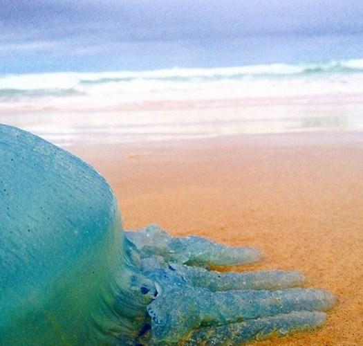 Loài sứa xanh Catostylus mosaicus.