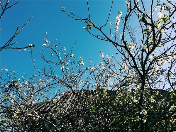 Lên Điện Biên vào mùa xuân, bạn sẽ có cơ hội chiêm ngưỡng sắc hoa anh đào 'chính hiệu' Nhật Bảnkhoe sắc tại vùng núi cao.