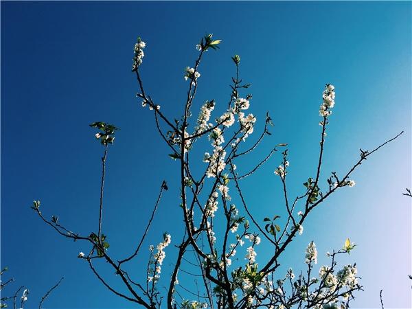Năm 2006, một cán bộ Đại sứ quán Nhật Bản đã tặng tiến sĩ nông lâm Trần Lệ10 hạt giống để ươm, và trong đó có 9 cây đã trưởng thành.Giờ đây, vị tiến sĩ yêu hoa đã nhân giống lên hàng nghìn cây, phủ kín cả một ốc đảo giữa hồ Pá Khoang nên thơ.