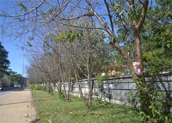 Mai anh đào tại trung tâm thành phố Đà Lạt chỉ nở lác đác vài cây, còn phần lớn vẫn chưa chớm nụ. (Ảnh: Internet)