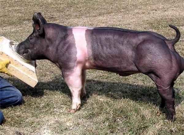 """Nhiều người hài hước đùa rằng, chắc hẳn chú lợn đã tốn nhiều thời gian trong """"phòng gym"""" mới có thể sở hữu cơ đùi cuồn cuộn như vậy."""