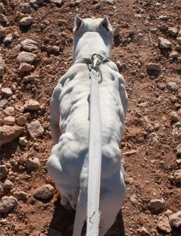 """Cơ bắp cuồn cuộn lộ rõ mỗi khi di chuyển của chú chó này khiến người xem""""choáng váng""""."""