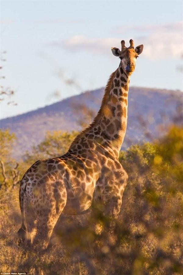 Hươu cao cổ cũng là một trong những loài động vật có mặt ở danh sách 16 con thú cơ bắp nhất thế giới.