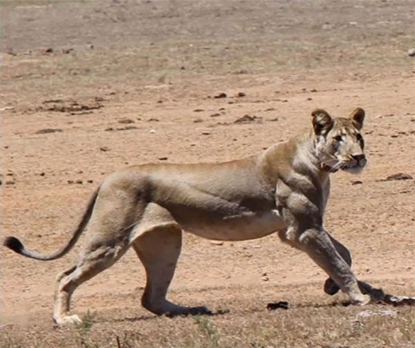 Bắp chân cuồn cuộn đầy dũng mãnh của một con sư tử.