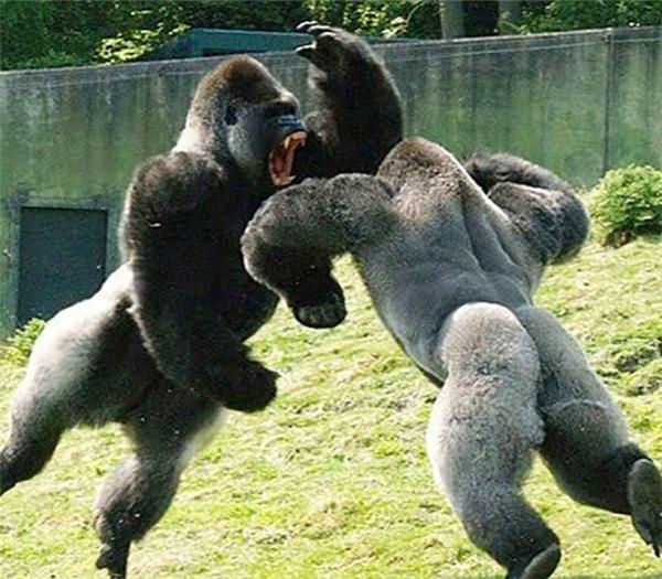 """Hai con khỉ đột cơ bắp đang """"giao chiến"""" khiến người xem không khỏi sợ hãi."""