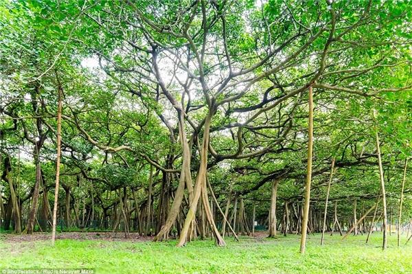 Cánh rừng xanh mát bạn đang thấy trước mắt thực chất chỉ là 1 cây đa duy nhất.
