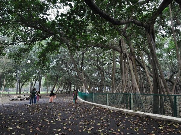 Cây đa khổng lồ có diện tích bằng cả cánh rừng