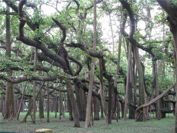 Rễ cây mọc ngược lên không trung tạo cảm giác như một cánh rừng um tùm.