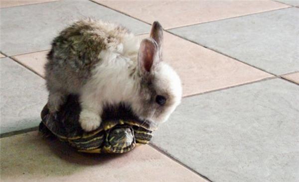 Chuyện tình rùa và thỏ là có thật đấy anh em ạ.
