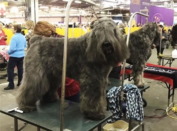 Những thí sinh cún độc lạ rộn ràng thả thính trong cuộc thi chó đẹp