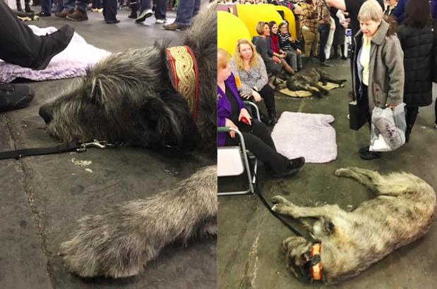 Theo cô Julie Schaeffer -chủ nhân của Ghost, nó chính là một trong tám chú chó Irish Wolfhound mà cô sở hữu.