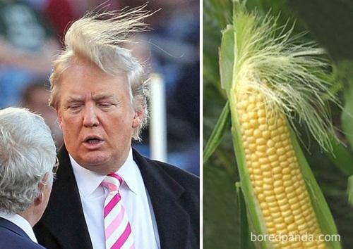 Mái tóc của tổng thống Donald Trump cũng được mang ra ví von với quả bắp cùng những sợi râu bị gió thổi tung.